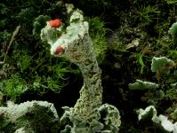 Cladonia-digitata-8230