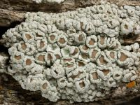 thumb Lecanora allophana 8765
